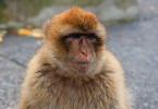 Małpki z Gibraltaru